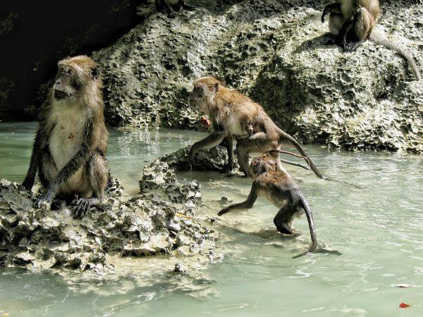 Les singes au bord du lagon dans la baie de Phang Nga