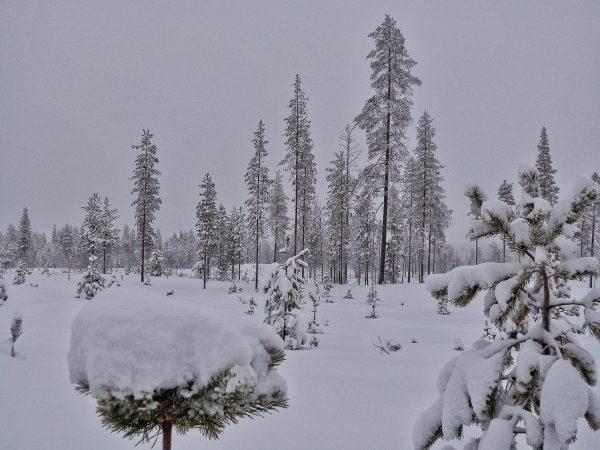 Couche de neige sur les arbres en Laponie