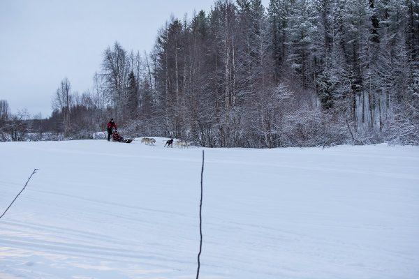 La balade en chien de traîneaux en Laponie