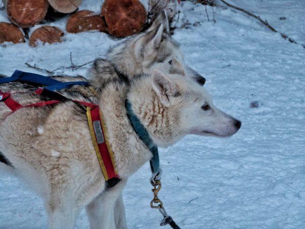 Chiens d'une meute en Laponie