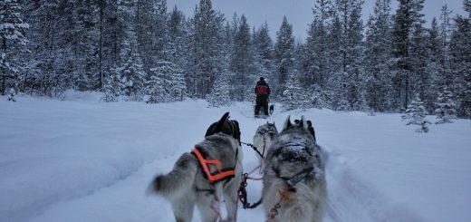 Chiens de traineaux en Laponie