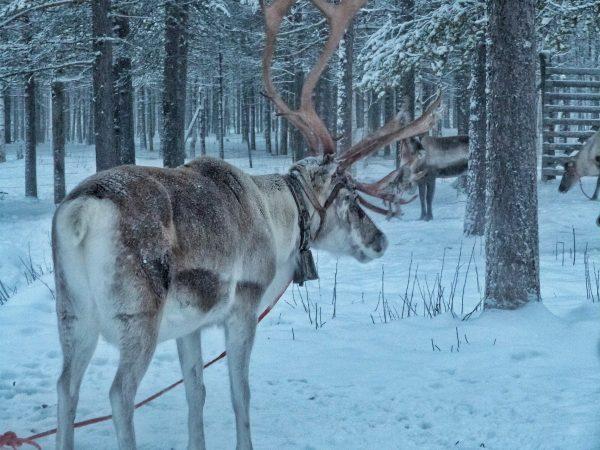 Dans une ferme de rennes en Laponie