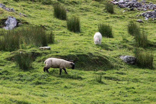 Les moutons que l'on croise facilement lors d'un road trip en Irlande