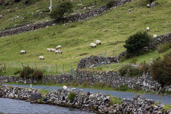 Moutons au bord de la route en Irlande