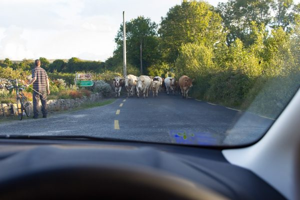 Des vaches sur la route en Irlande