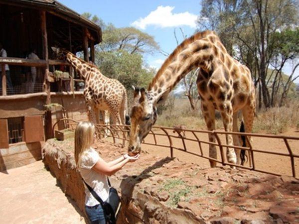 Dans le centre des girafes de Nairobi