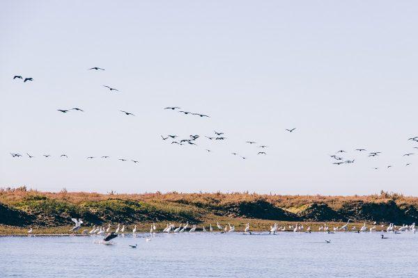 Les oiseaux migrateurs dans la Ria Formosa