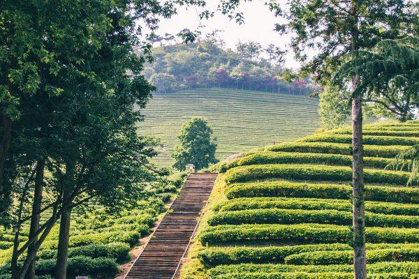 Chemin dans les plantations de thé de Daehan Dawon en Corée du sud