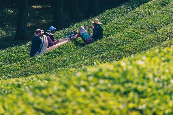 Cueillette des feuilles de thé en Corée du sud
