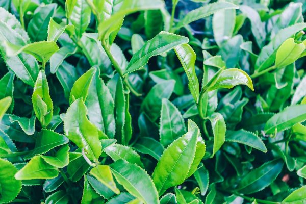 Feuilles de thé de Boseong