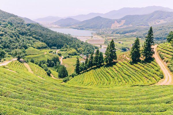 Panorama sur les plantations de thé à Boseong