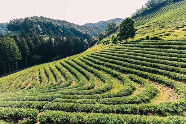 Plantations de thé en Corée du sud