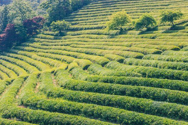 Plantations de thé de Daehan Dawon en Corée du sud
