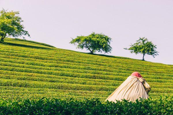 La récolte du thé à Boseong