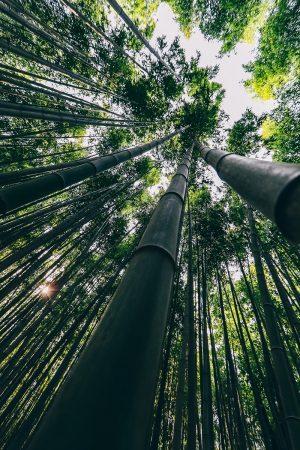 Forêt de bambous de Damyang en Corée