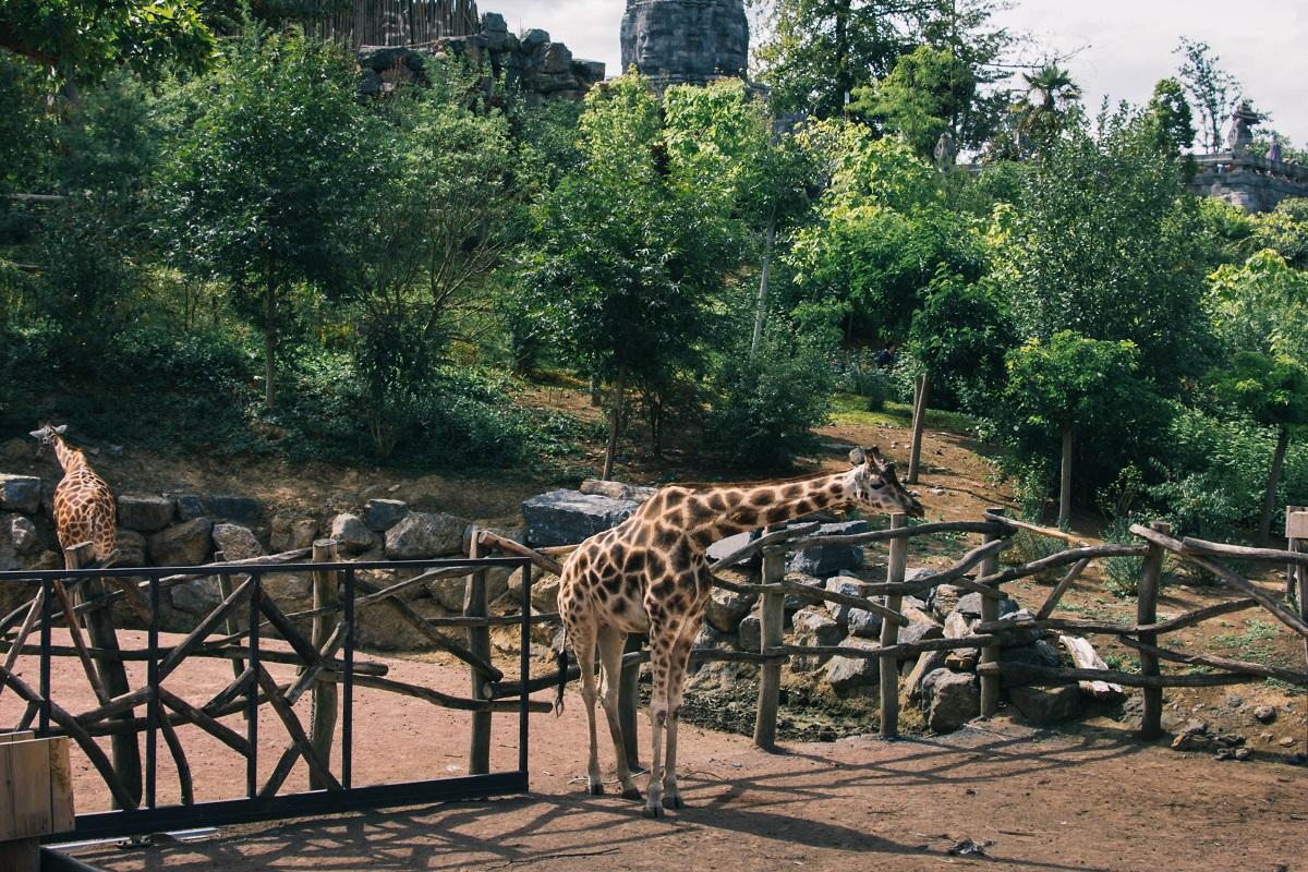 Girafe dans le zoo de Pairi Daiza