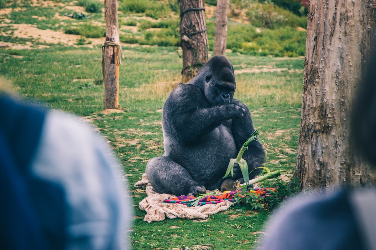 Gorille dans le zoo de Pairi Daiza en Belgique
