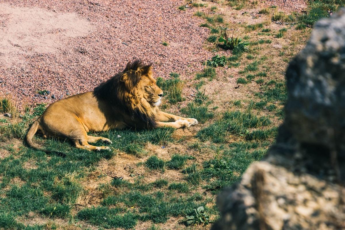 Lion dans le zoo de Pairi Daiza
