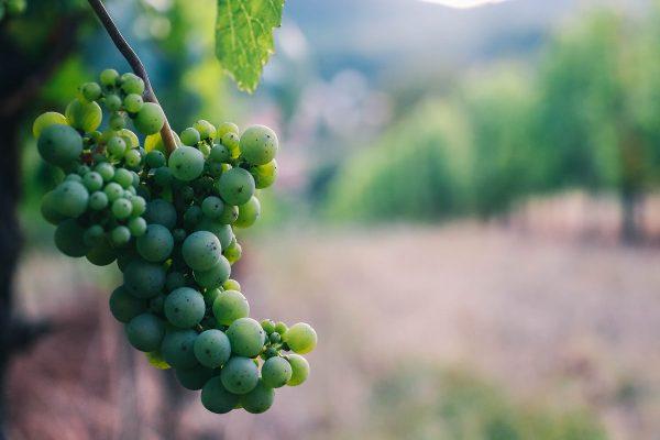 Dans les vignes en Alsace