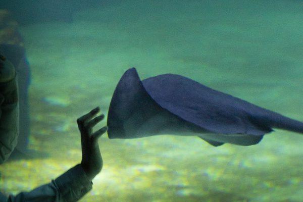 Raie dans un aquarium à Nausicaa