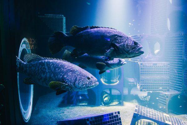 Gros poissons dans un aquarium à Nausicaa