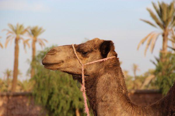 Dromadaire dans la palmeraie de Marrakech