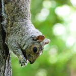 Les écureuils sont très présents dans les parcs de Montréal